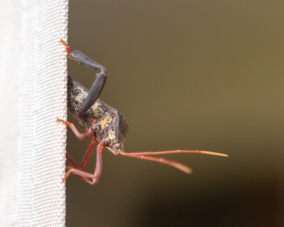 Peeping Bug