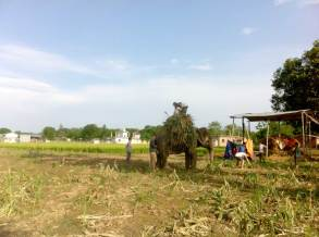 Elephant at work in fields