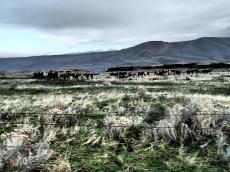 Cows were a ubiquitous motif of the landscape.
