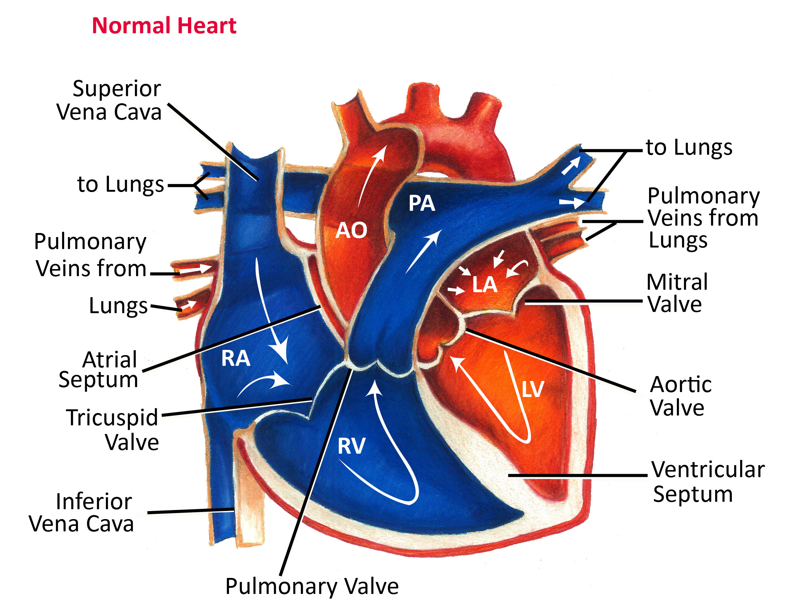 Normal Heart Anatomy And Blood Flow