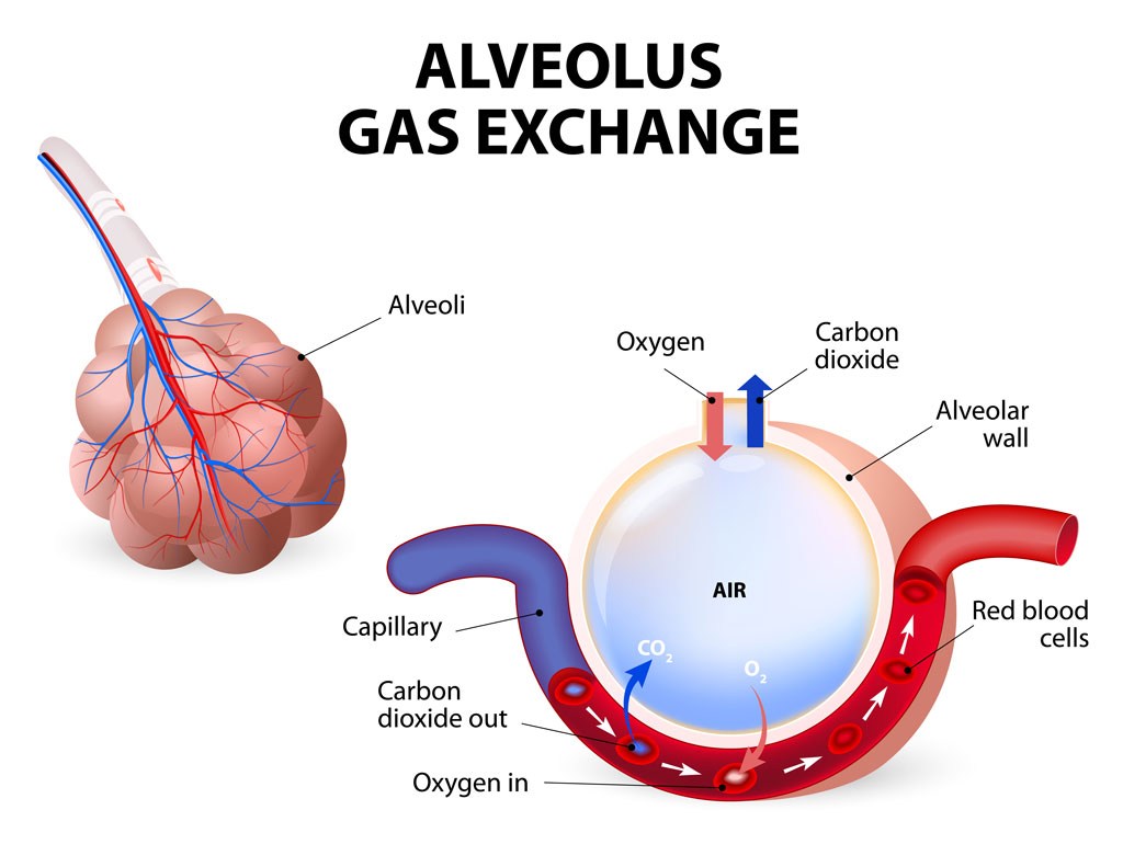 Alveolus Gas Exchange Pulmonary Alveolus