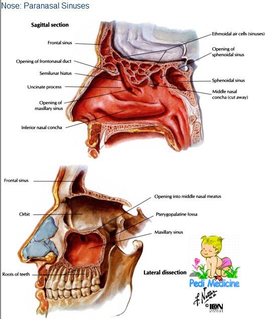 Anatomy of Paranasal Sinus
