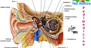 Basic Human Ear Anatomy and Physiology