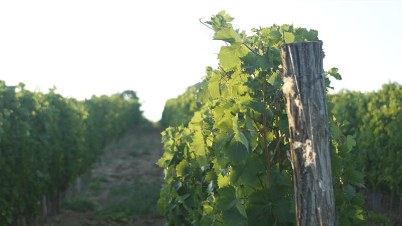 Vinogradi Rujevice- Tamjanika