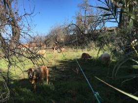 goats_3419
