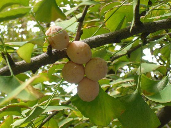 Ginkgo fruits.
