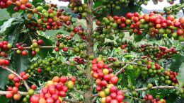 Más de tres millones de quintales de café anuales se producen en Venezuela - Más de tres millones de quintales de café anuales se producen en Venezuela