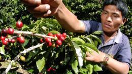 Recolectores de café costarricenses tendrán seguro social - Recolectores de café costarricenses tendrán seguro social