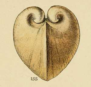 gravure_de_coquillage_-_isocardis_cor_-_cyprinides