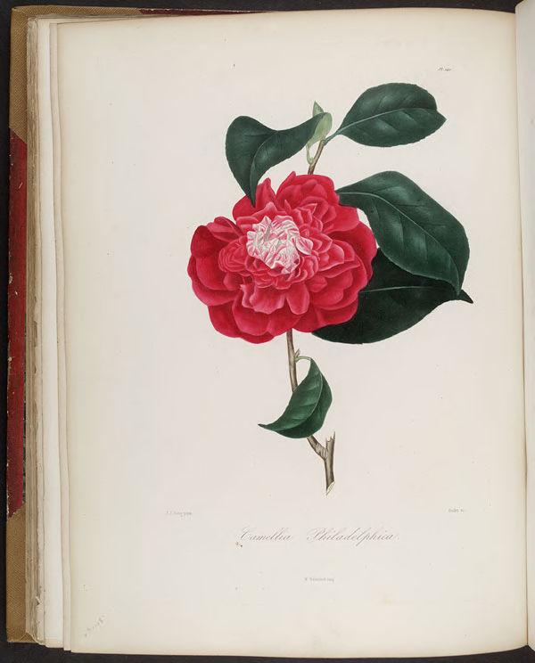 Gravures_belles_fleurs___2253_Camellia_philadelphica