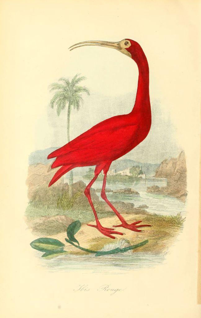 Gravures_couleur_oiseaux_-_470_Ibis_rouge