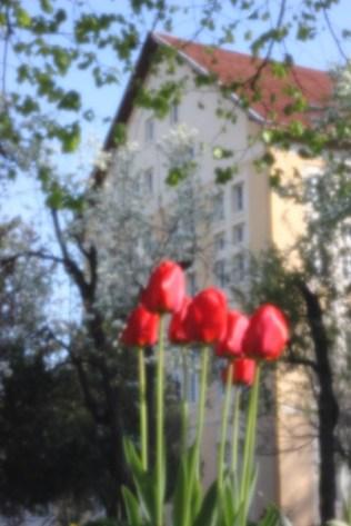 tulips by Plamen Luchanski