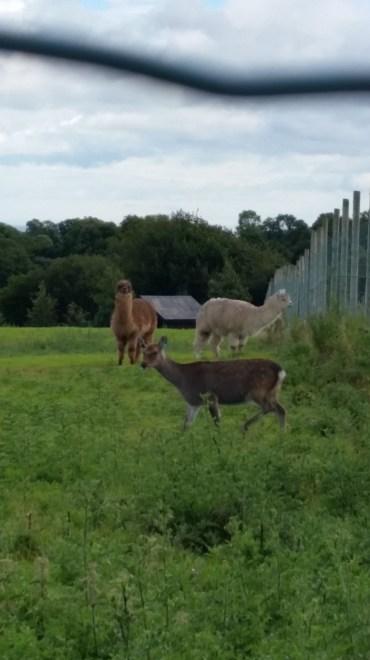 Alpacas! (and a deer)