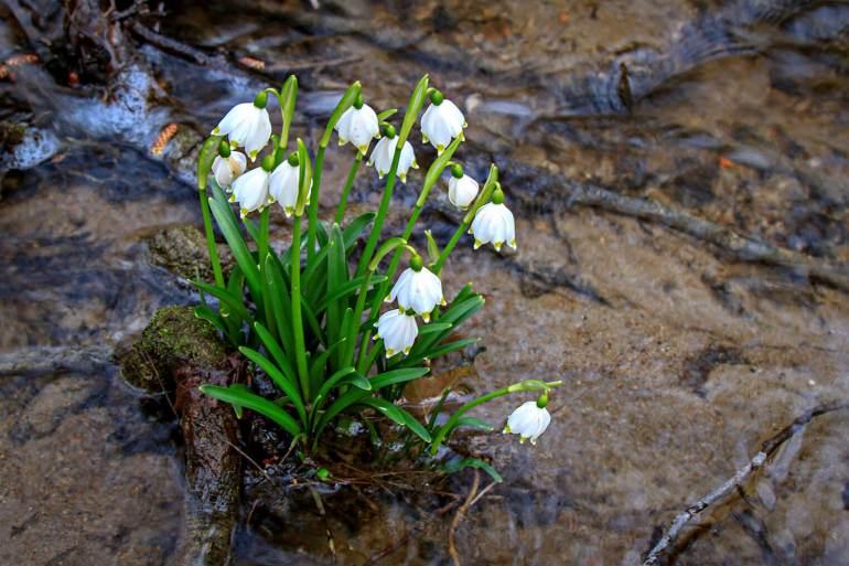 Leucojum vernum, auch Großes Schneeglöckchen, Frühlingsknotenblume, Märzglöckchen, Märzenbecher oder Märzbecher genannt