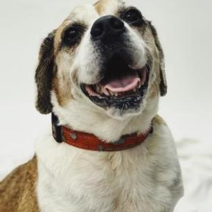 Princess: 11 years old Beagle mix Hi my name is Princess! I am an 11 year old beagle mix and the world's best couch potato. I am currently on the hunt for the perfect napping spot, can you help? All I request is that I have a comfy bed to sleep in and an occasional cuddle buddy. When I am not napping I enjoy running around outside and breathing in the crisp fresh air. I am very playful and get along great with other dogs. I would also do well in a house with kids and cats. I promise I will always be your best friend and perfect companion. Do I sound like the girl for you? Then come adopt me today!