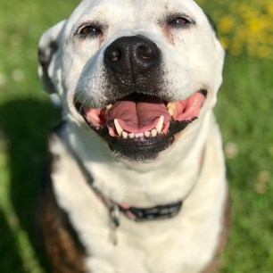 Dallas: 9 years old Pit Bull mix Meet Dallas! If you're looking for a laid-back pup, Dallas is your girl. She's up for a short stroll around the block, but won't be training for any marathons with you! Her ideal home comes with a comfy couch and lots of snacks. She enjoys the simple things in life and would love nothing more than to snuggle after a long day at work. Dallas is a 9 year old pit bull mix who would do best as the only pet in the household. Dallas is waiting to meet you, adopt her today!
