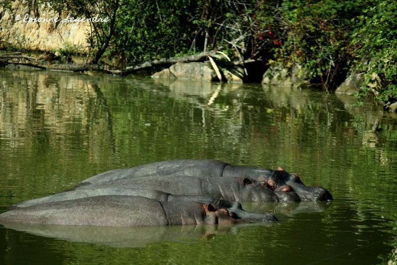 Hippopotames au Parc Zoologique de Thoiry | Photographer : Roxanne Legendre