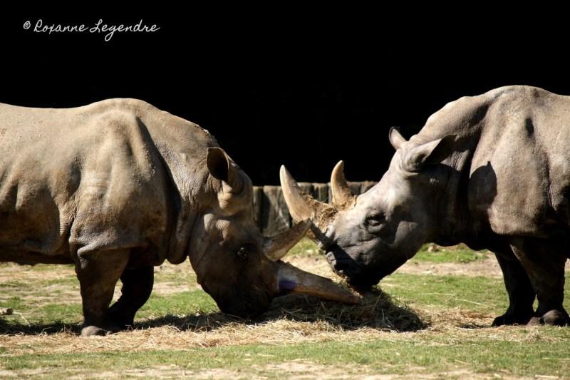 Rhinocéroces au Parc Zoologique de Thoiry | Photographer : Roxanne Legendre