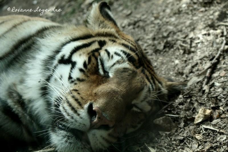 Tigre au Parc Zoologique de Thoiry | Photographer : Roxanne Legendre