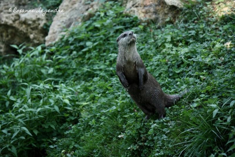Loutre au Parc Zoologique de Thoiry | Photographer : Roxanne Legendre