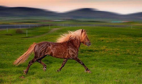 www.pegasebuzz.com | Equestrian Photography : Ragnar Sigurdsson