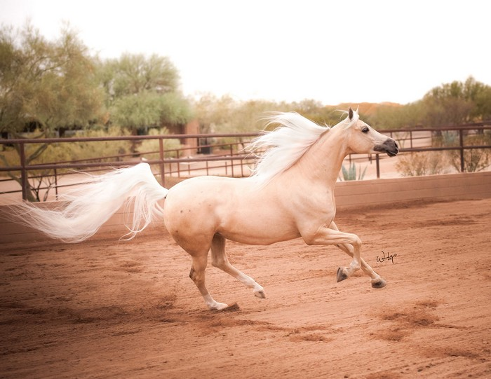 www.pegasebuzz.com | Count Me In FF, Arabian horse.