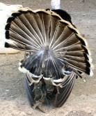 Back side of turkey