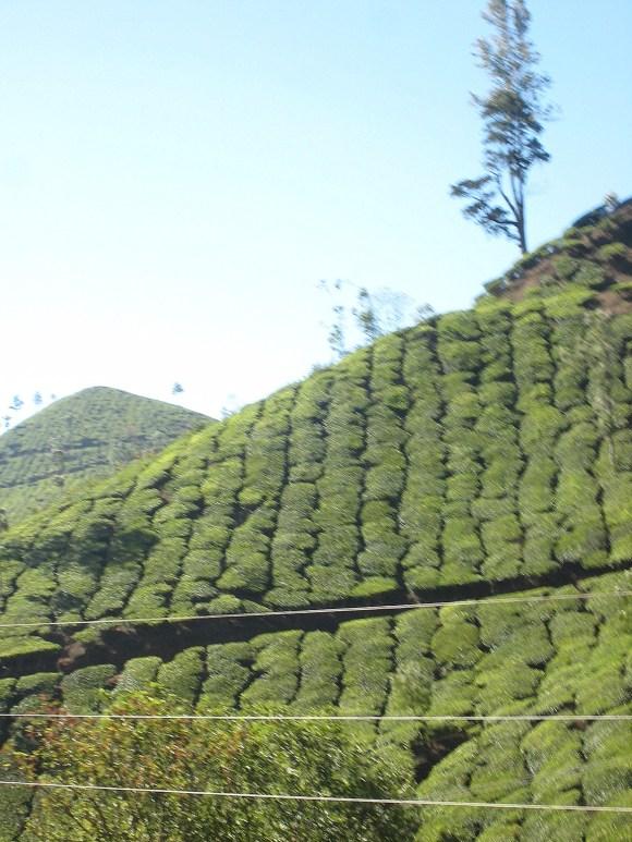 10.2 tea growing on hillside
