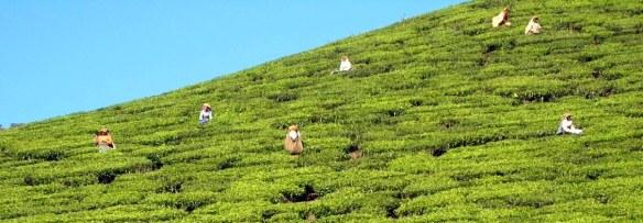 10.3 women picking tea - Copy