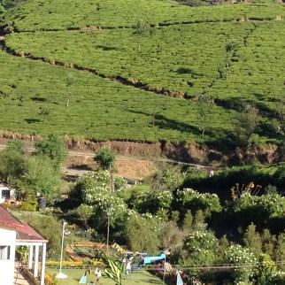 8.1 hillside tea plantation