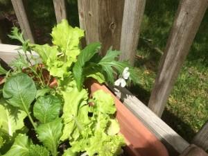 cabbageworm butterfly near lettuce