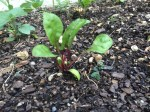 swiss chard transplants
