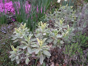 variegated sage in April with light new growth