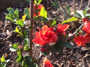 Double Take Orange Storm Flowering Quince
