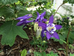 columbine in my garden