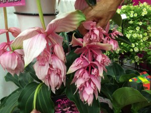 Medinilla on left and Dolce Vita on the right