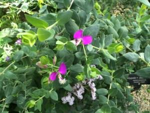 sweet pea shrub (2)