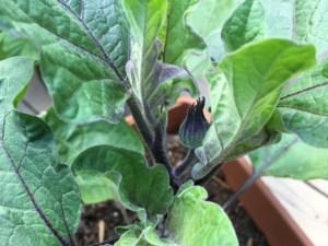 eggplant flower bud