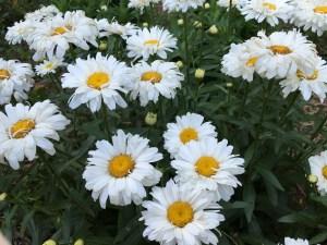 shasta daisy 'Freak'