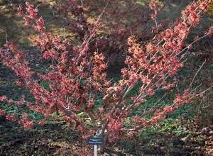 "Hamamelis intermedia ""Hiltingbury'; Hiltingbury WH"
