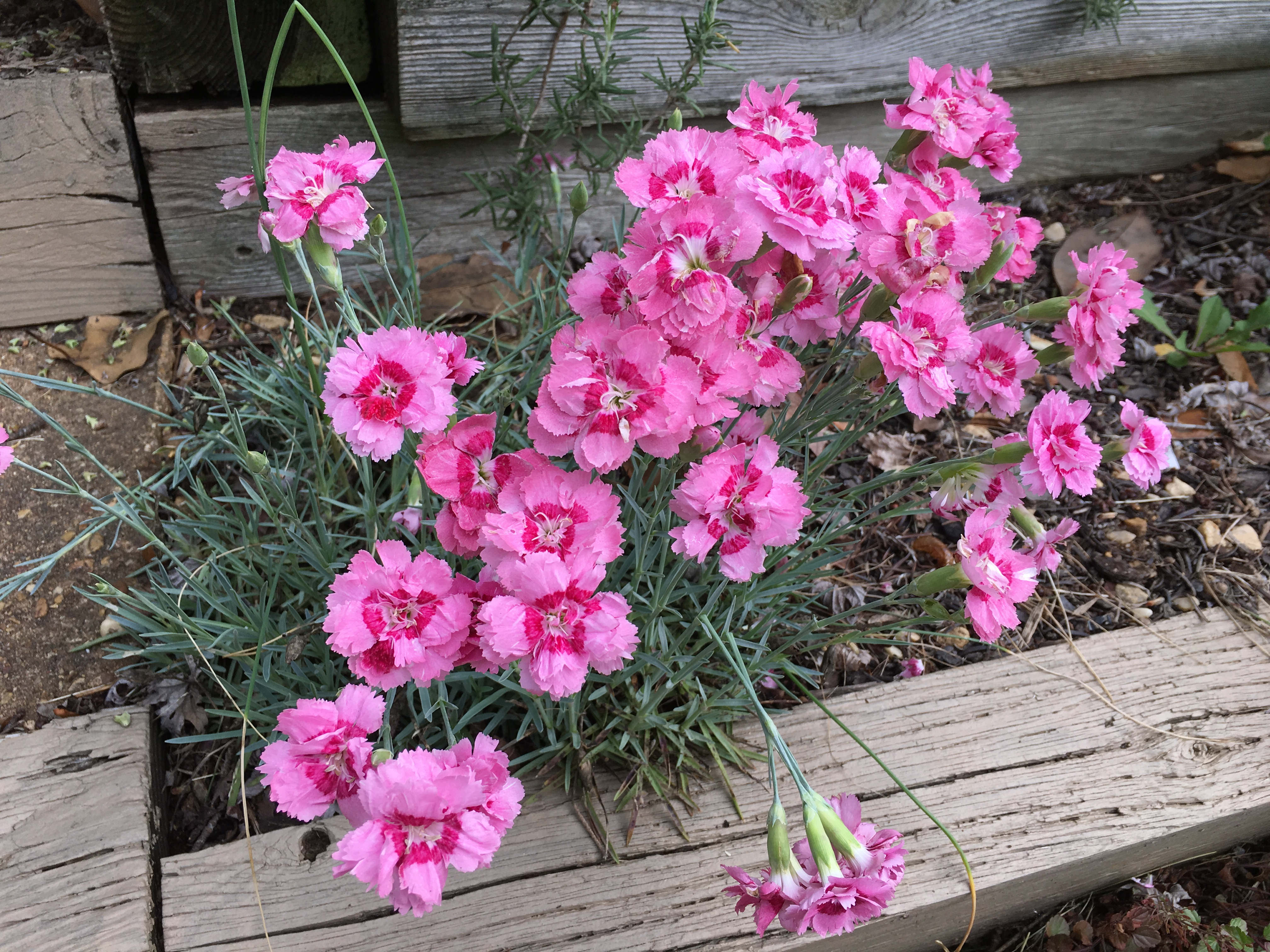 Garden Bloggers Bloom Day Border Pinks Pegplant