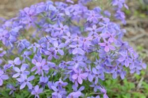 Fran's purple phlox