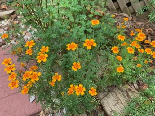 signet marigolds