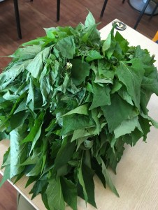 Dadugum (Amis name)--Solanum nigrum in latin. Leaves remind me of young dandelion leaves; tangy, with a light peppery flavor.