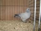 Champion Pigeon