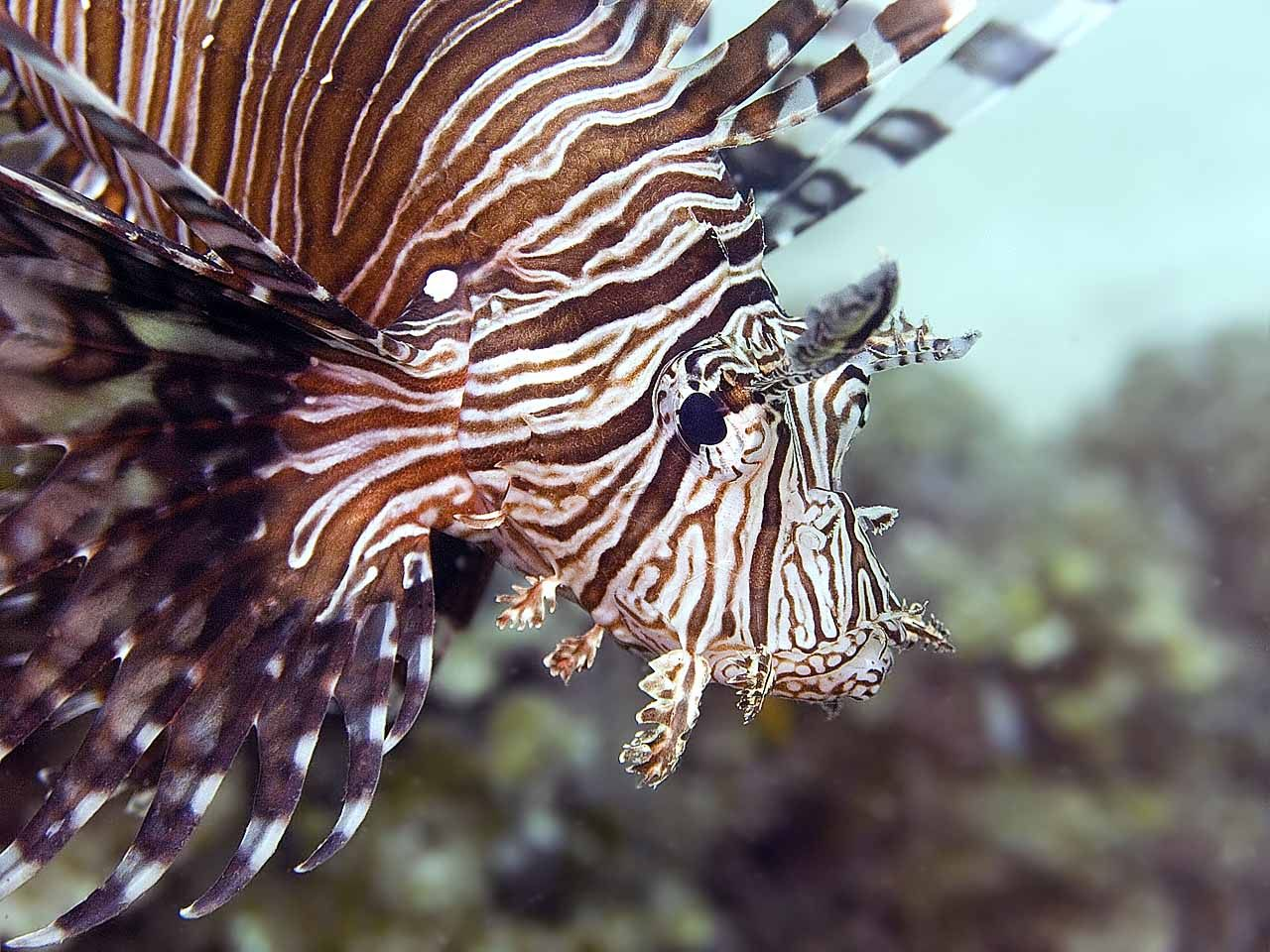 Cabeça do peixe-leão
