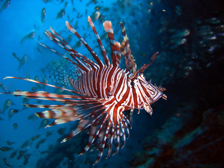 Peixe-leão vermelho