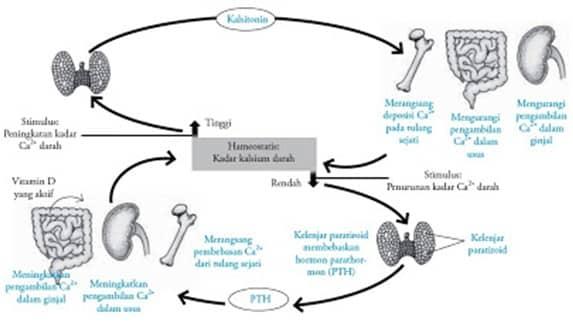 Metabolisme Kelenjar Paratiroid