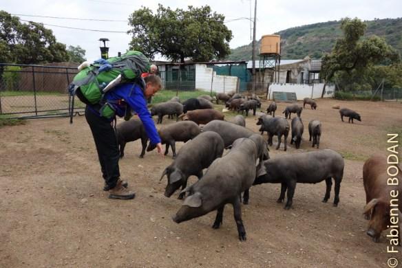 Qui du cochon ou du pèlerin s'amuse de la présence de l'autre ? Le plaisir est partagé, sans aucun doute. © Fabienne Bodan
