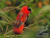 Obispo Rojo (Euplectes orix) Laguna Cartagena